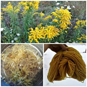 Goldenrod is so much more than a weed!! Who knew it had so many uses? Great information!!