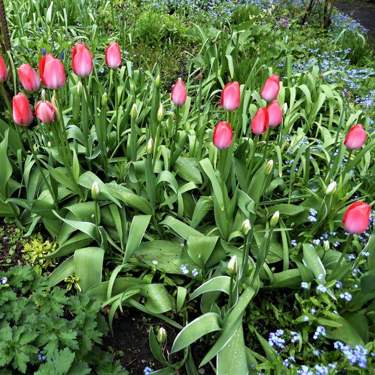 Tulpen Pflege