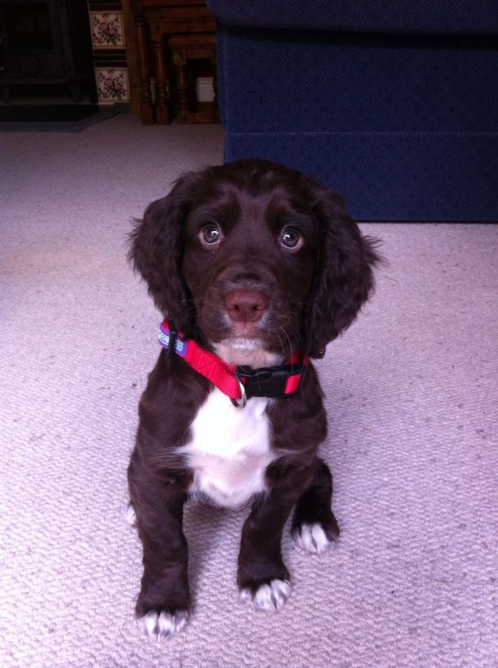 My beautiful Moose and his beautiful Sprocker puppy eyes!