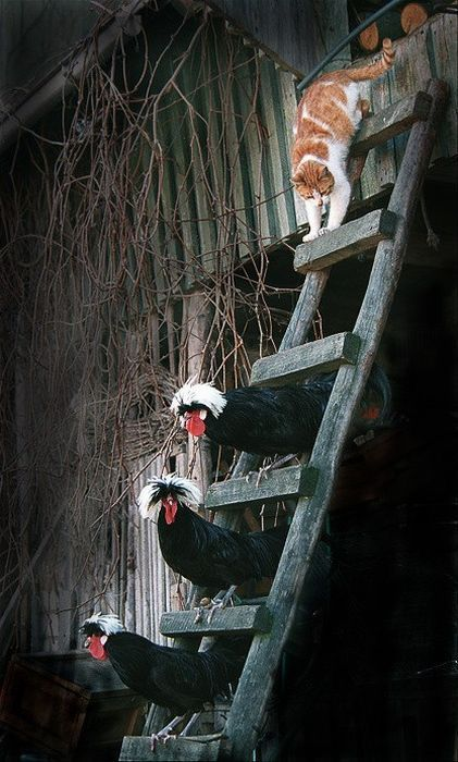 Is This Barn Cat Coming or Retreating From the Hen House? This Picture is Confusing.