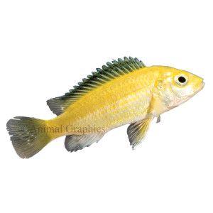 Electric yellow labidochromis african cichlid live fish for Petsmart live fish