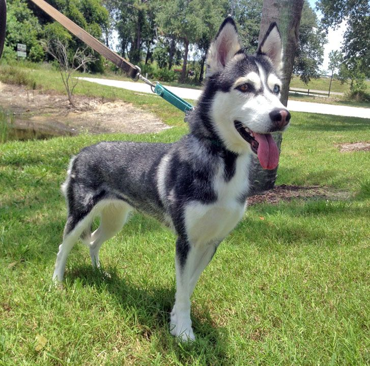 PLEASE can you help our #Florida #Siberian #Husky #dogrescue? It's so easy: just download this app.  It will ask for your name and email address, and it will also ask who you are walking for - just enter:  SIBERIAN HUSKY RESCUE OF FLORIDA INC. and press enroll! Please check your email to complete your enrollment.  LINK: http://www.wooftrax.com/ #share