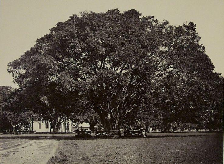 Waringinboom te Malang 1880-1900.