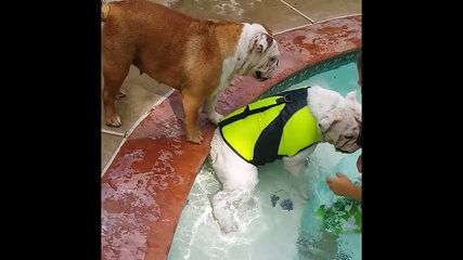 Bulldog Rescues Swimming Bulldog - http://dailyfunnypets.com/videos/dogs/bulldog-rescues-swimming-bulldog/ - Bulldog Rescues Swimming Bulldog?,hayvanlar,?...???,AFV,???'??--?,Amerikan,AFV Animals,e?lenceli,animals,??,Bulldog (Dog Breed),evde beslenen hayvan,Funny,funny,swimming,????--???,Rescue (Profession),Kyoot,filmler Bulldog Swimming Bulldog Rescues - bulldog, kurtar?r, rescues, rettet, schwimmen, swimming, yüzme