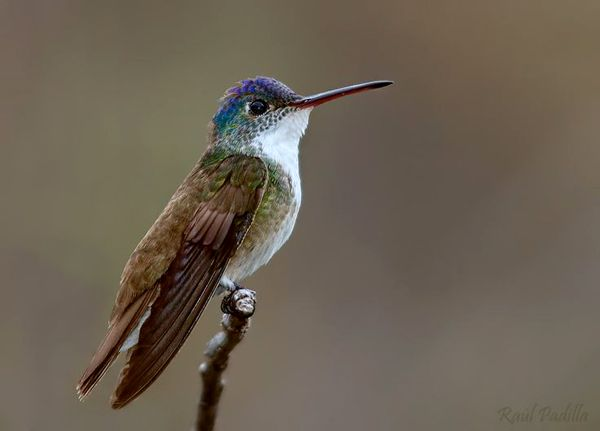 Bellas Aves de El Salvador: Amazilia cyanocephala (chupaflor o colibrí corona azul) Residente