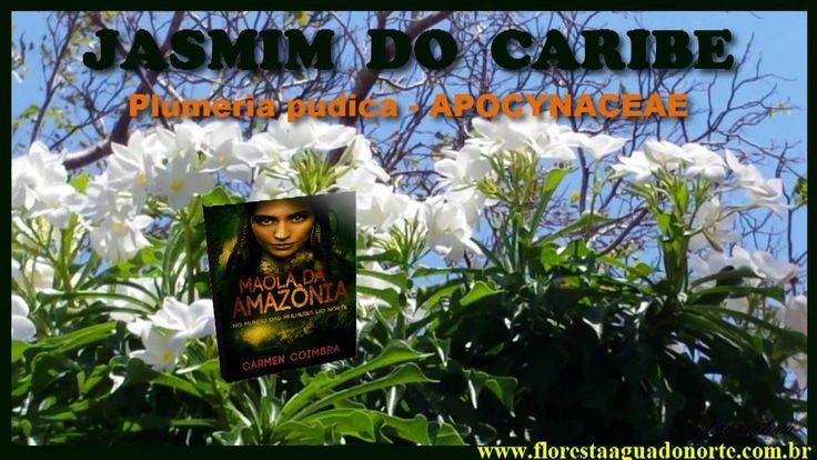 Amazônia - Planta de Vaso e Jardim - Jasmim do Caribe - Plumeria pudica ...