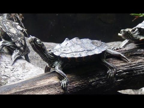 1000 Ideas About Pet Turtle On Pinterest Baby Turtles