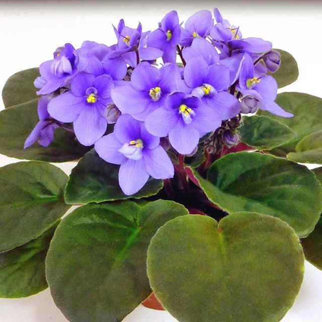 Repost optimara.violets    Manitoba, from the Canadian Provinces series💜  #optimara #myviolet #lightblue #blueflowers #floral #floraldecor #houseplant #indoorplants #happyflowers #flowersmakemehappy #flowersmakemesmile #flowersformom #flowersforme #africanviolet #saintpaulia #homegarden #windowgarden #funflowers #flowersofinstagram #flowerstagram #bloomingflowers