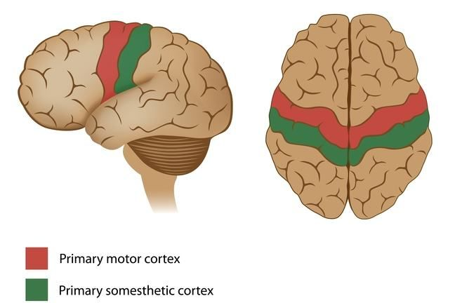 Pictorial representation of human brain showing primary motor cortex and primary somesthetic cortex