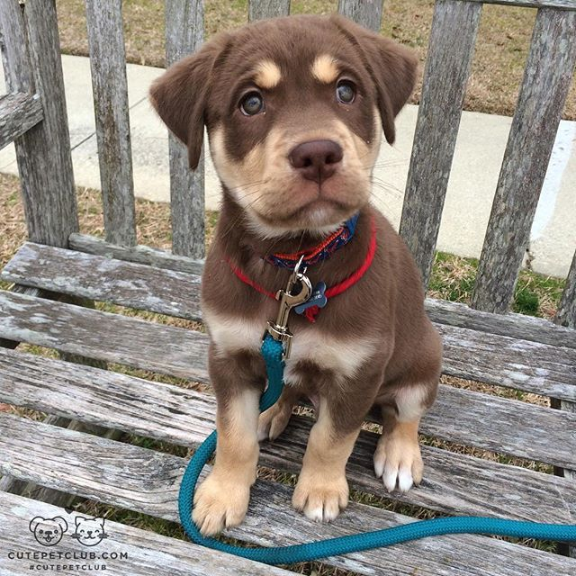 """From @tucker_marlo: """"This is Marlo, he is a husky/lab mix from Charleston, SC. Follow us @tucker_marlo."""" #cutepetclub"""