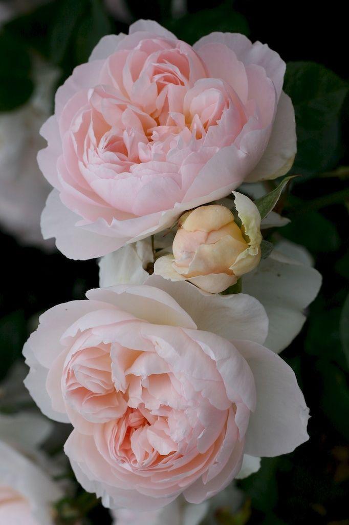 robertmealing:  Gentle Hermione - English Rose