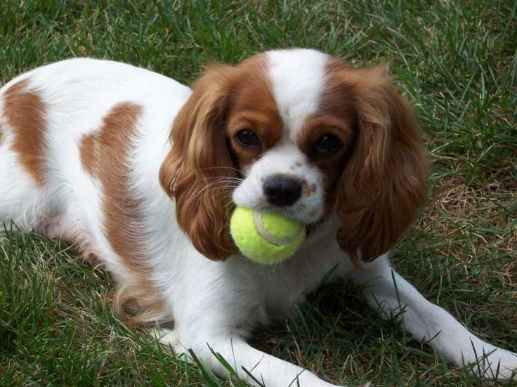 I will always associate Cavalier King Charles Spaniels with Charlotte York