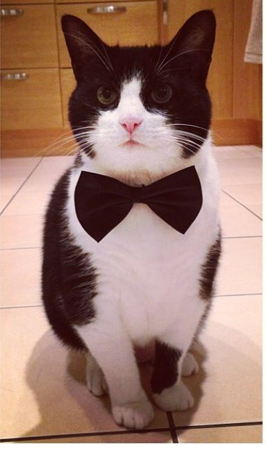 black and white cat in bow tie - Google Search
