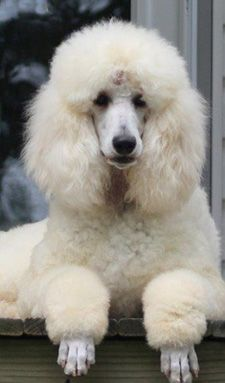 how to groom a standard poodle for show