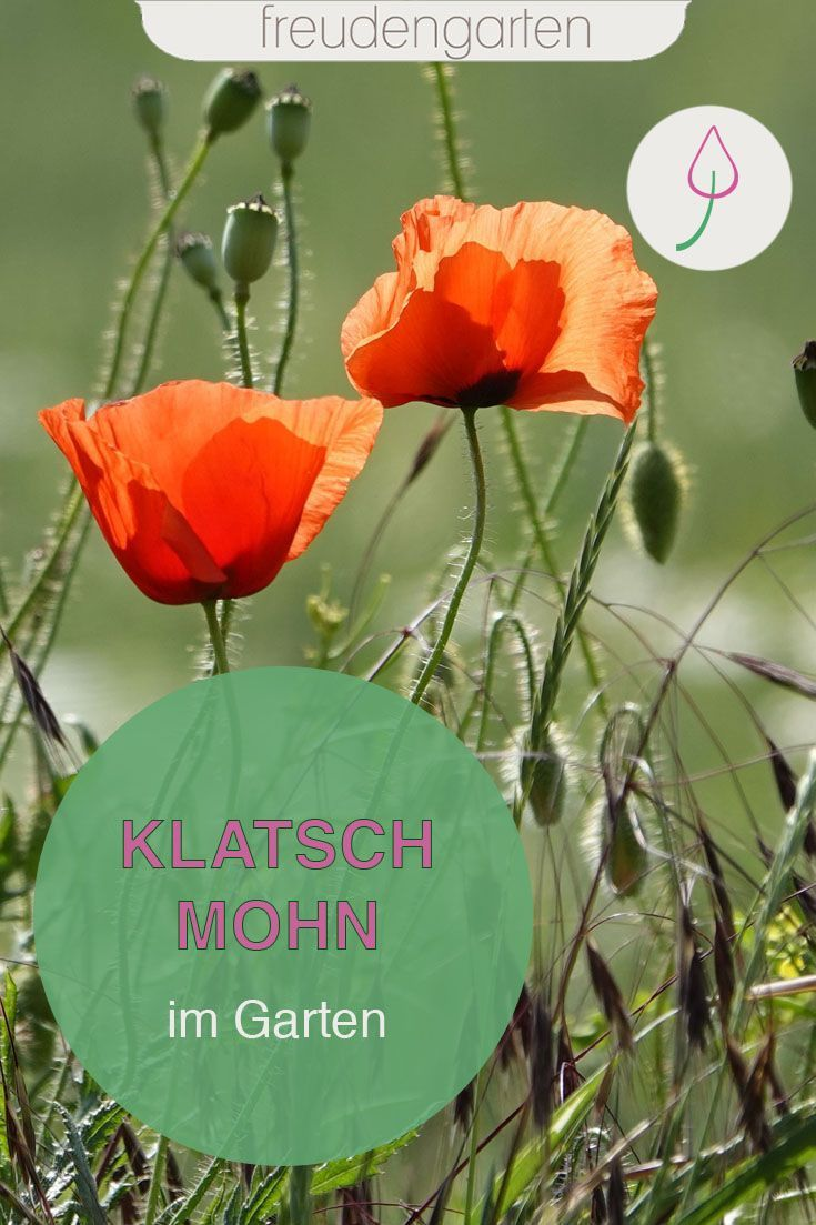 Mohnblumen Blumenbeet Anlegen Garten Mohnblume