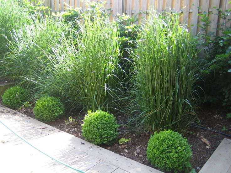 Calamagrostis 'Karl Foerster' - shown here planted behind buxus sempervirens from a planting design by Sue Davis of outside-rooms.co.uk