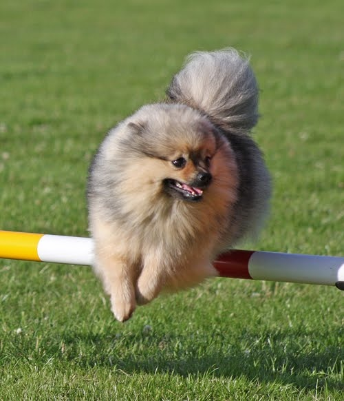 "#Pomeranian playing outside. Find tips on outside safety in the book: ""Pomeranian Breed of A Queen"" at http://mypomeranian.net"