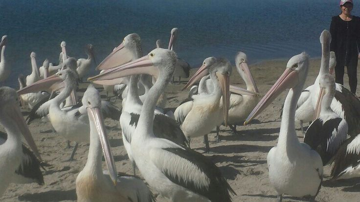 Pelicans at Broadwater Labrador Gold Coast