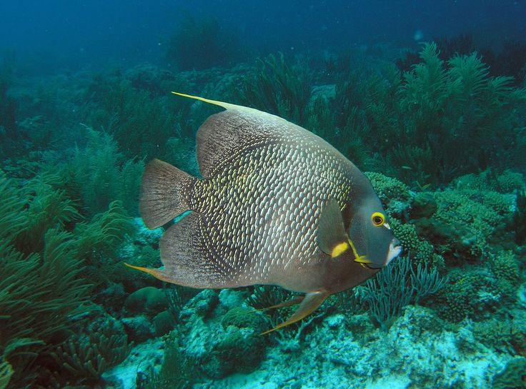 French-angel-fish