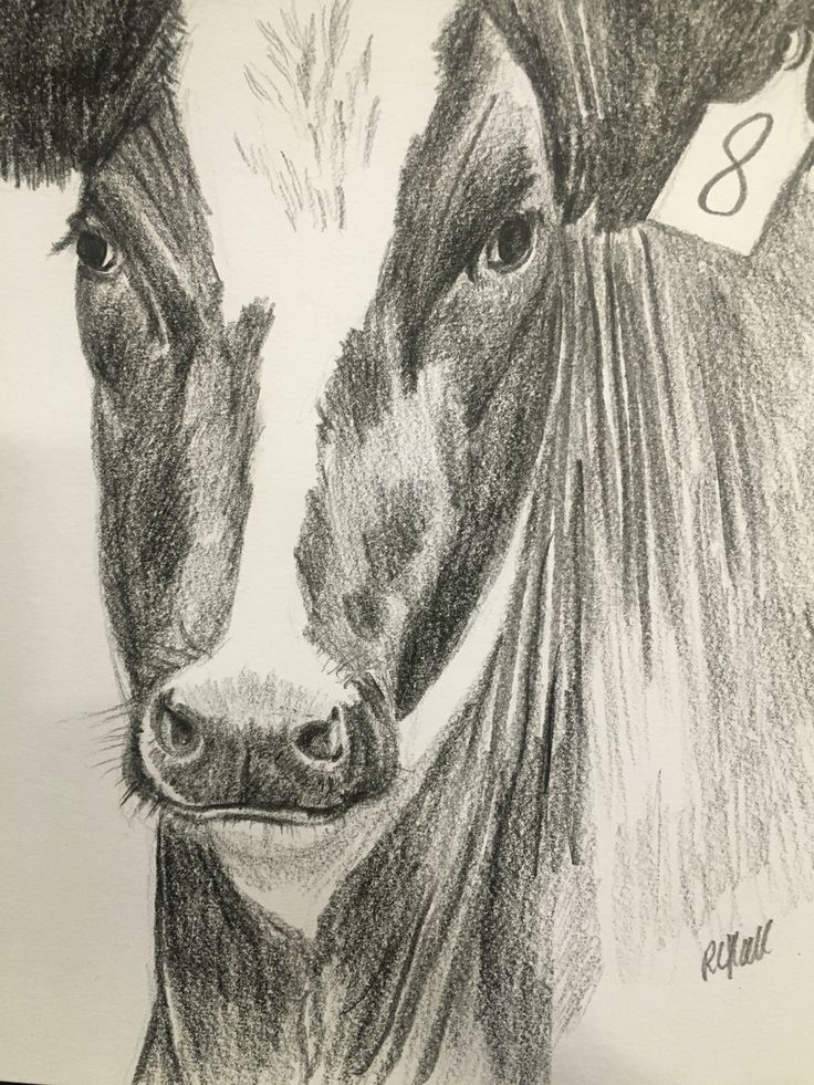 Cow - 2016, Pencil Drawing by Robyn Hall New Zealand Artist