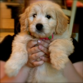 Mini Goldendoodle puppy at 8 weeks, quite possibly the cutest puppy ever! Tater Tot