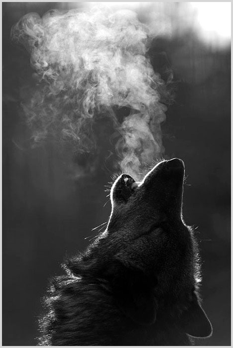 Wolf: Photos, Lonewolf, Lonely Wolf, Beautiful, Wolf Howl'S, Wolves, Photography, The Moon, Animal