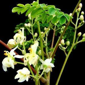 Moringa oleifera Lam. - Moringa oleifera: : um nutracêutico por excelência  -  a nutraceutical for excellence