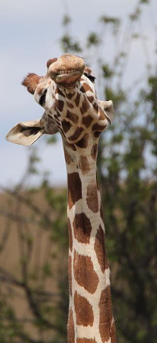 Giraffe Neck And Teeth