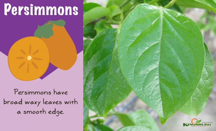 + images about Persimmons on Pinterest | Persimmon cookies, Persimmon ...