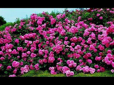 Особенности выращивания почвопокровных роз - YouTube