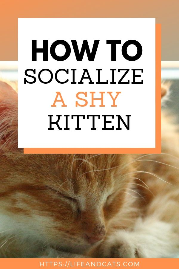 How To Help Socialize A Shy Kitten Life Cats Cat Training Sick Cat Cat Care Tips