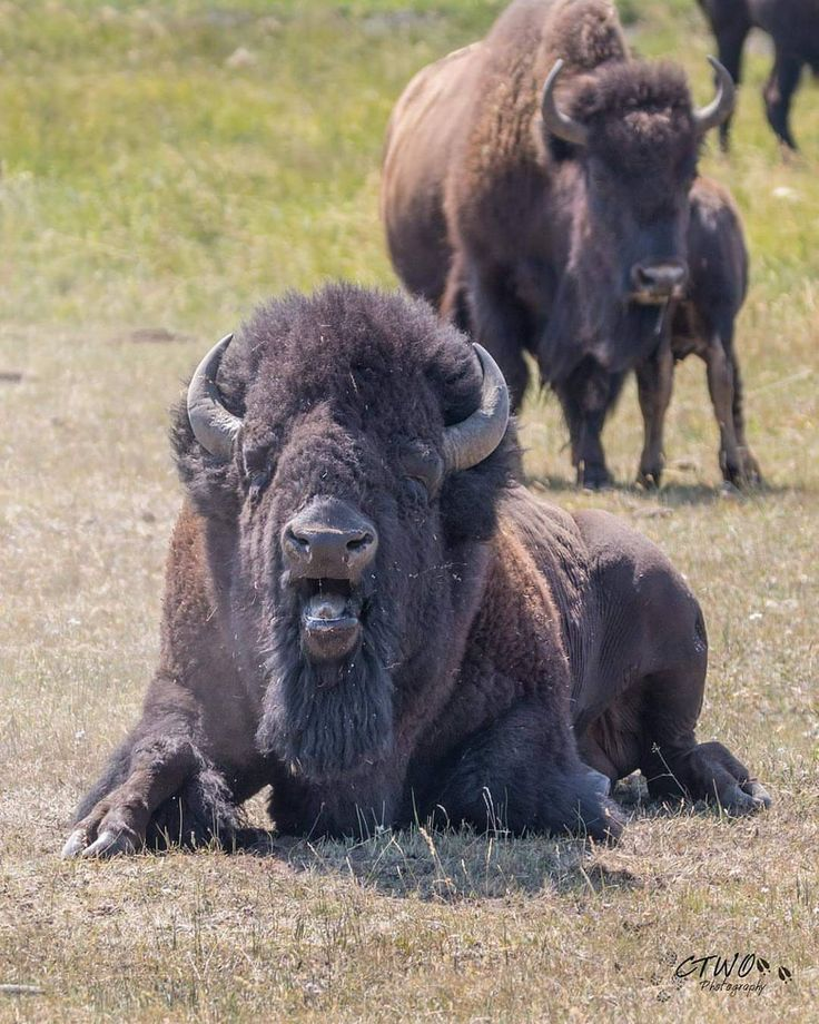 Wildlife Animals & Nature — . Photo by @chasingthewildoutdoors A bull bison...