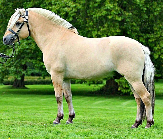 Fjord stallion, Model Skovå.