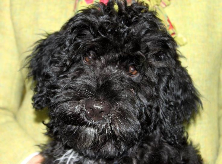 Margherita our 3 month old Portuguese water  dog