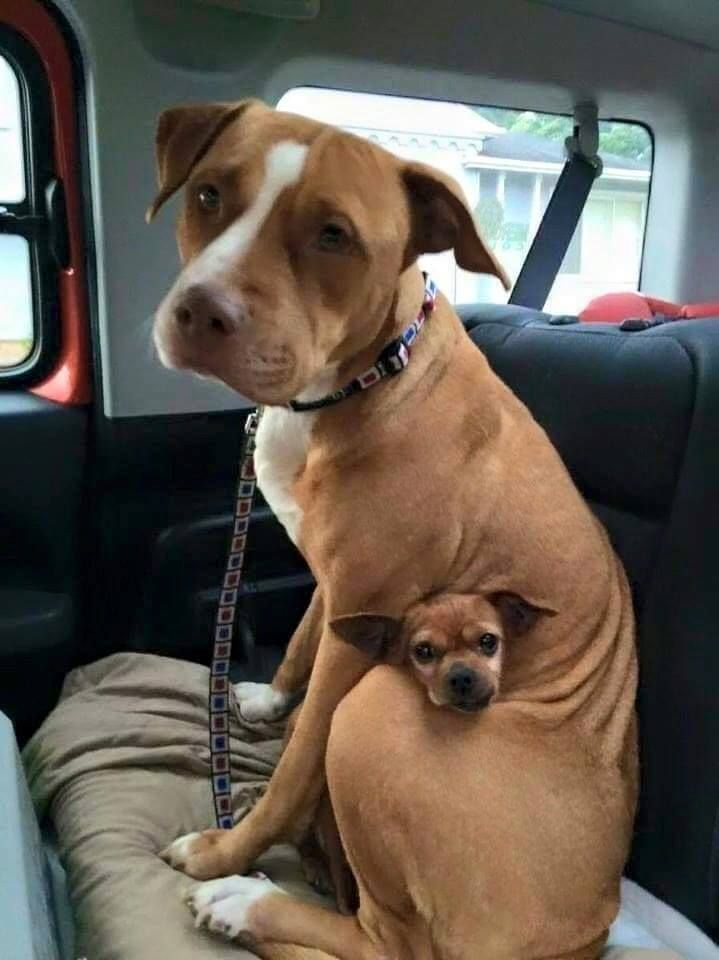 this pit bull and chihuahua were adopted together from an animal shelter. This photo is from their freedom ride home.  #DogLover #PitBull