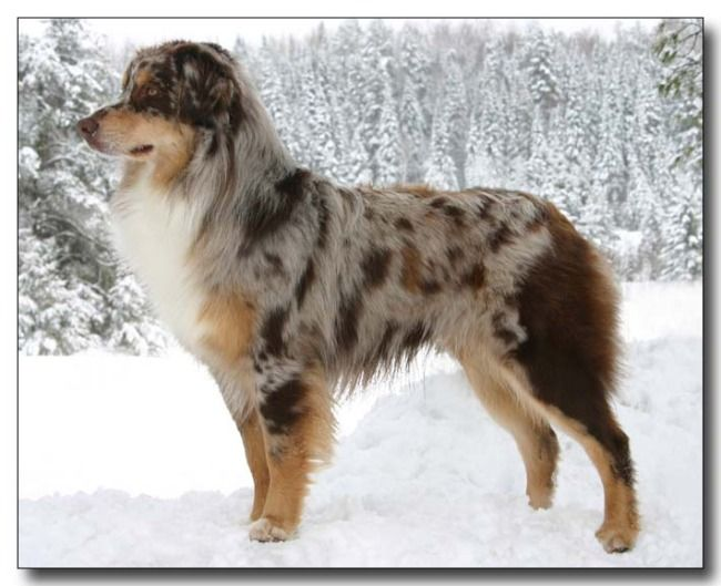 Beautiful Red Merle. :D