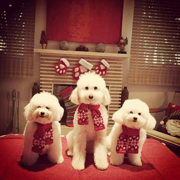 Christmas Time with a Bichon Frise family!