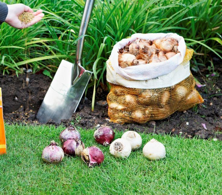 Высадка луковичных осенью после хранения
