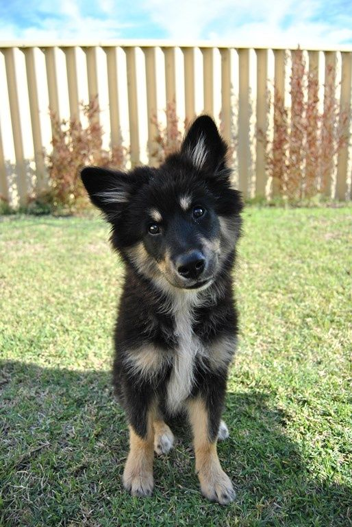 17 best images about finnish lapphund on pinterest