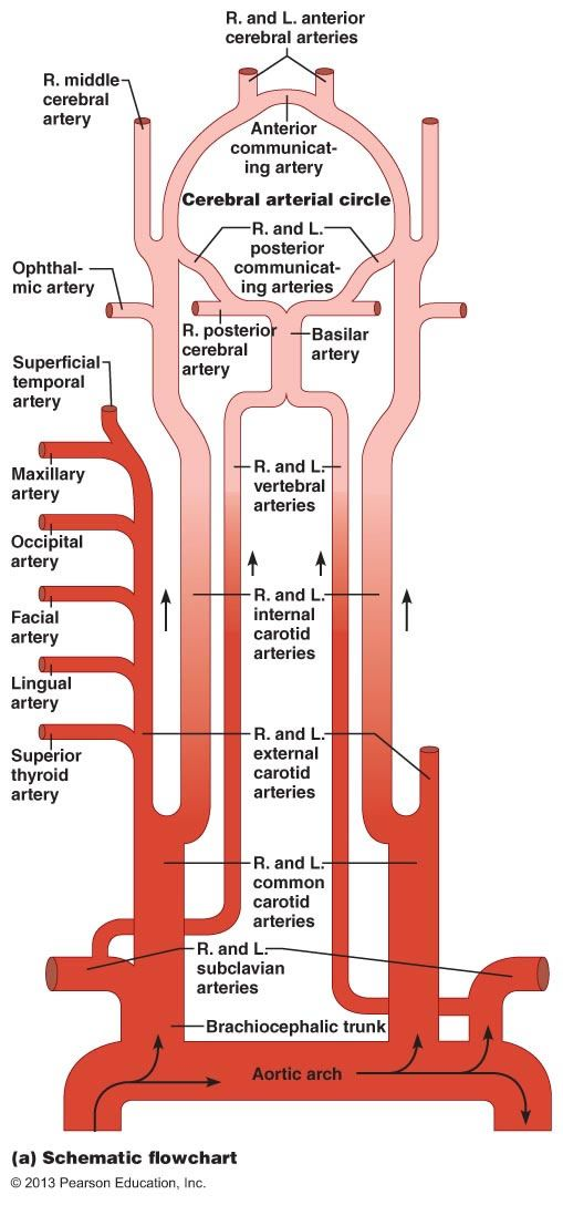 "blood and it's vessel system The arteries carry blood away from the heart the veins carry it back to the heart the system of blood vessels resembles a tree: the ""trunk,"" the."