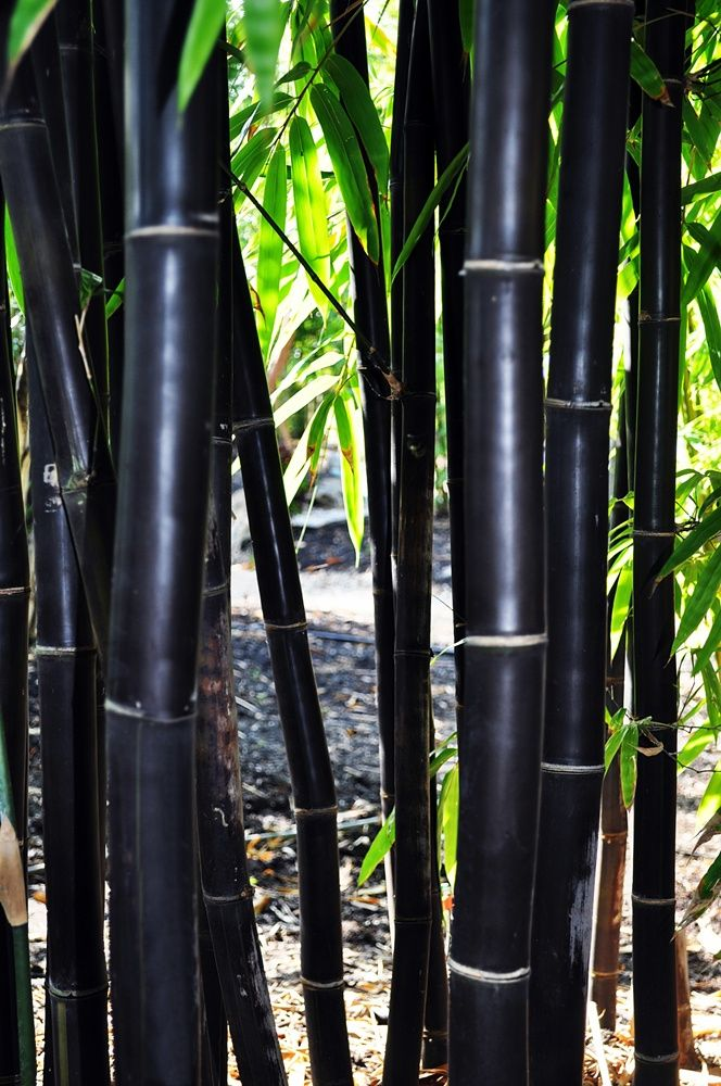Timor Black Bamboo 3g Bambusa Lako Bamboo For Sale