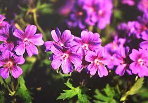 Perennial Hardy Geraniums ~ Gardening Articles :: Flowers :: Perennials :: National Gardening Association
