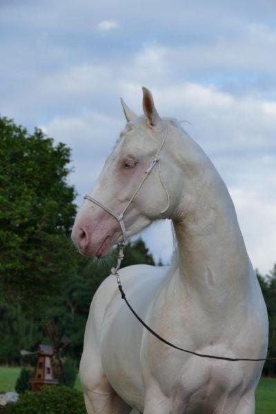 Quater Horse Hengst in aussergewöhnlicher Farbe in Bayern - Viechtach   Großpferde günstig kaufen   eBay Kleinanzeigen