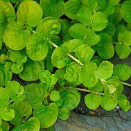 Lysimachia nummularia 'Aurea' (Golden creeping Jenny, Moneywort) - Fine Gardening Plant Guide