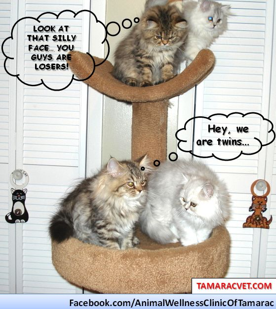 Ooh...our Lauren Baron's twin kittens got into a fight ^:^ We just couldn't resist to this cuteness and made a pet meme <3 For more funny pet meme's check out http://tamaracvet.com/photos---stories/veterinarians-in-south-florida.html or send us yours :)