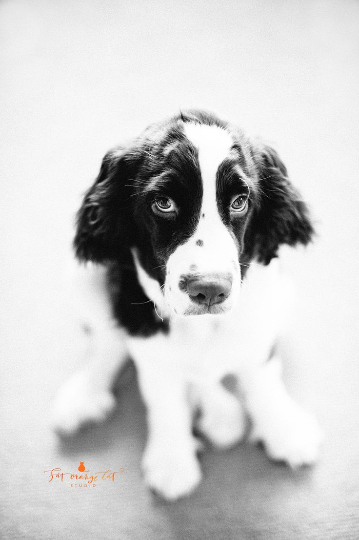 260 best English Springer Spaniel images on Pinterest | English ...