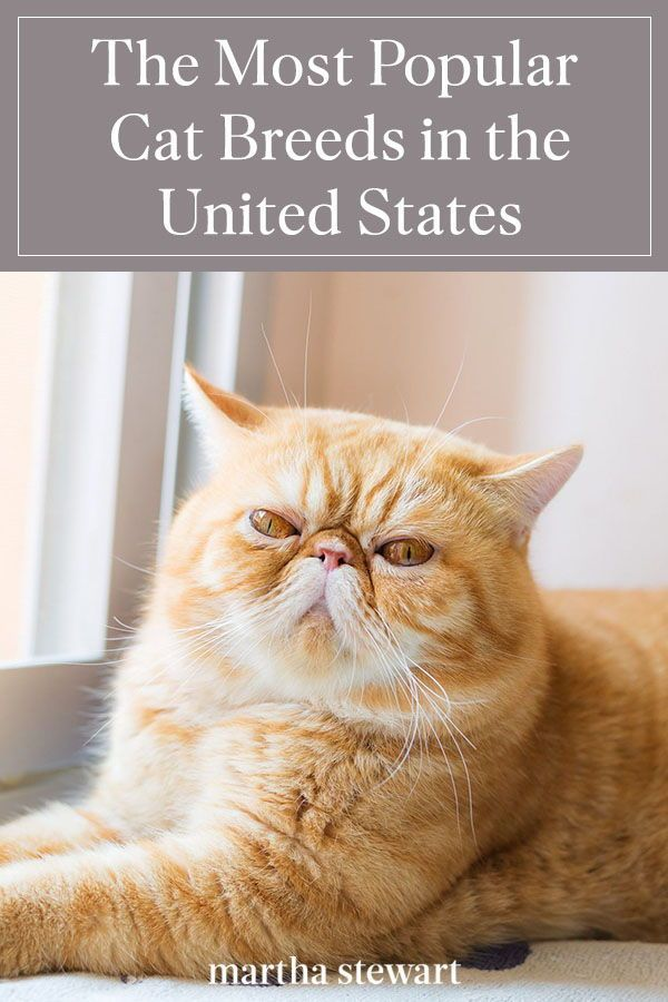 The Most Popular Cat Breeds In The United States In 2020 Popular Cat Breeds Cat Breeds Most Popular Cat Breeds