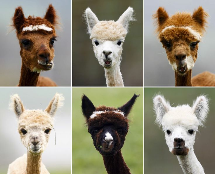 freshly shorn alpacas showing off their naturally colored fiber