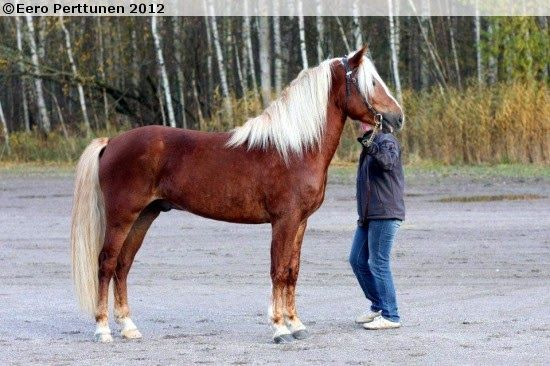 finnish horse with so beautifull white hair: finnish horse with so beautifull white hair