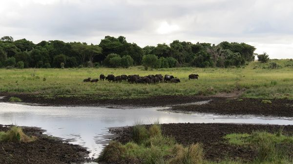 A herd of buffalo at iSimangaliso's Western Shores
